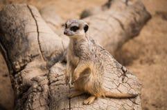 Das meerkat oder das suricate in Lissabon-Zoo Lizenzfreie Stockfotografie