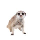 Das meerkat oder suricate Junge, zweimonatiges Baby, auf Weiß Lizenzfreies Stockfoto