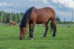 Das meiste schöne braune Pferd Lizenzfreie Stockfotografie