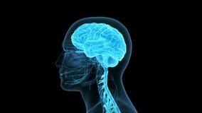 Das menschliche Gehirn vektor abbildung