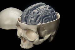 Das menschliche Gehirn im Schädel - ein Plan für Studenten Stockfotografie