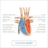 Das menschliche Innere Lizenzfreie Stockbilder