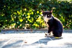 Das Mischweiß der schwarzen Katze Stockbild