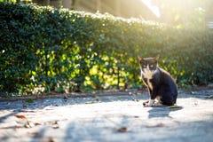 Das Mischweiß der schwarzen Katze Lizenzfreies Stockbild