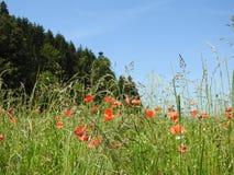 Das Mohnblumenfeld in der Schweiz Lizenzfreies Stockbild