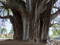 Das mucronatum Ã- rbol Del Tule Taxodium ist eine Zypresse in der südlichen mexikanischen Stadt von Santa Maria del Tule Oaxaca stockfotografie