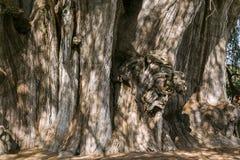 Das mucronatum Ã- rbol Del Tule Taxodium ist eine Zypresse in der südlichen mexikanischen Stadt von Santa Maria del Tule Oaxaca lizenzfreies stockbild