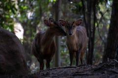 Das muntjac zwei reeveÂs in einem Wald stockbilder