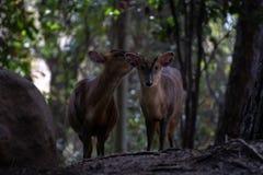 Das muntjac zwei reeveÂs in einem Wald stockfoto