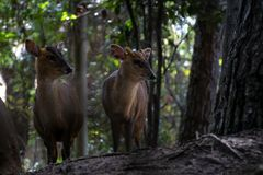 Das muntjac zwei reeveÂs in einem Wald lizenzfreie stockbilder