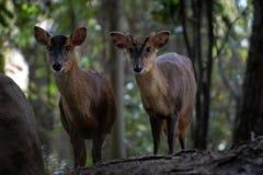 Das muntjac zwei reeveÂs in einem Wald lizenzfreie stockfotografie