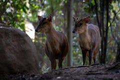 Das muntjac zwei reeveÂs in einem Wald lizenzfreie stockfotos