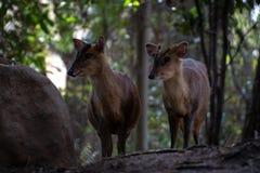 Das muntjac zwei reeveÂs in einem Wald lizenzfreies stockfoto