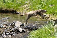 Das Murmeltier springend über einen Fluss Stockbilder