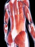 Das Muskelsystem Lizenzfreie Stockbilder