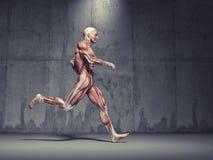 Das muskulöse System lizenzfreie abbildung