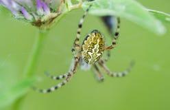 Das Muster auf der Rückseite der Spinne Stockfotografie