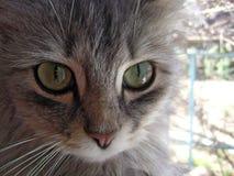 Das mysteriöse Anstarren einer Katze Lizenzfreies Stockfoto
