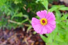 Das Nahaufnahmeporträt der rosa Blume mit der Verfehlung von einem Blumenblatt Stockbild