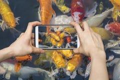 Das Nehmen von Japanern Koi fischt Bilder auf Smartphone Stockfotos
