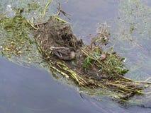 Das Nest der Ente Lizenzfreie Stockfotos