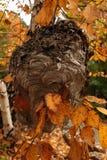 Das Nest der Hornisse in den Niederlassungen stockfoto