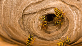 Das Nest der Wespe Stockfotografie