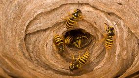 Das Nest der Wespe Stockbild