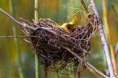 Das Nest des Vogels in den Niederlassungen Stockfotos