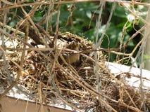Das Nest des Vogels innerhalb des Stacheldrahts Lizenzfreies Stockbild