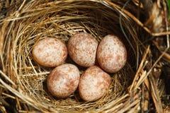 Das Nest vom des Blyths Reedwobbelton Lizenzfreie Stockfotografie