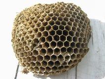 Das Nest von Wespen Lizenzfreie Stockbilder
