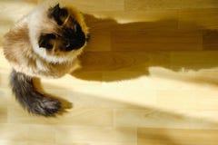 Das nette Balinesekatzensitzen bequem im diesem Nachmittagssonnenlicht leckt in das Wohnzimmer stockbild