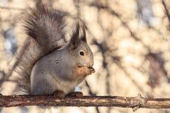 Das nette flaumige Eichhörnchen, das auf Niederlassung sitzt und Sonnenblumensamen mit Licht isst, verwischte Hintergrund lizenzfreie stockfotografie