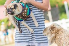 Das nette gegenüberstellende Pughündchen und befürchten ein Schaf auf einem Gebiet lizenzfreie stockfotografie