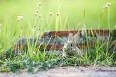 Das nette Kaninchen, das auf grüner Feldfrühlingswiese das Häschenbraunkaninchen sitzt, lassen Gras mit Backsteinmauerhintergr stockfoto
