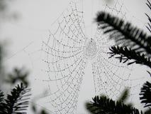 Das Netz der Spinne in der Kiefer Grove lizenzfreies stockbild
