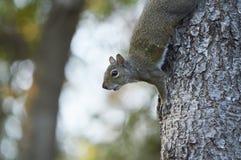 Das neugierige Eichhörnchen Lizenzfreie Stockfotografie