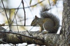 Das neugierige Eichhörnchen Stockfoto