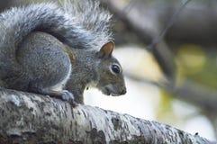 Das neugierige Eichhörnchen Stockfotos