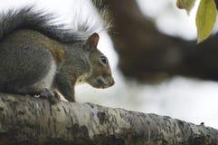 Das neugierige Eichhörnchen Lizenzfreie Stockfotos