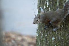 Das neugierige Eichhörnchen Stockfotografie