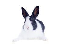 Das niederländische Kaninchen, der alias Holländer oder das Brabander Getrennt lizenzfreies stockfoto