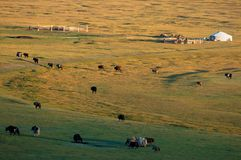 Das Nomadehaus in Mongolei und im Viehbestand lizenzfreie stockfotografie