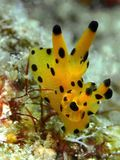 Das nudibranch Polyceridae Mabul Thecacera während eines Freizeittauchens in Mabul-Insel, Semporna, Tawau Sabah, Malaysia borneo stockbilder