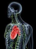 Das obere Lymphsystem lizenzfreie abbildung