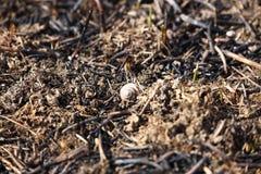 Das Oberteil einer Schnecke, die in einem Feuer gestorben war, L?gen auf gebackenem Gras Konsequenzen einer Katastrophe Fr?hling  stockbilder