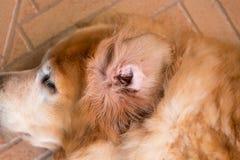 Das Ohr des schmutziger Hundes Stockfotografie