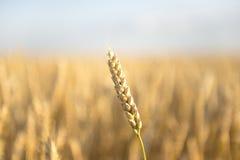 Das Ohr des Weizens Lizenzfreie Stockfotos