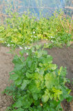 Das organische Gemüse stockfotografie